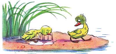 цыпленок не идет купаться